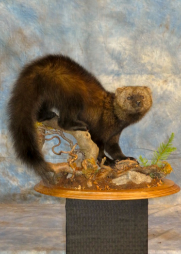 Fisher taxidermy sitting on a woodland habitat