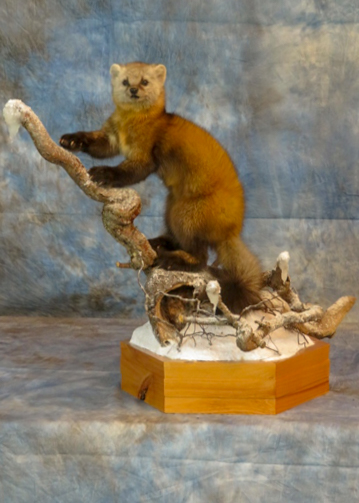 Pine Miller taxidermy animal climbing a branch