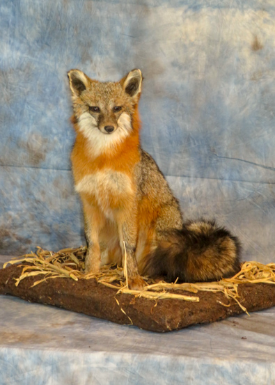 Grey fox taxidermy on grass habitat