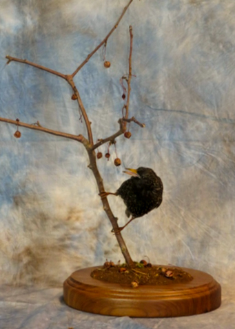 European starling taxidermy sitting on a branch