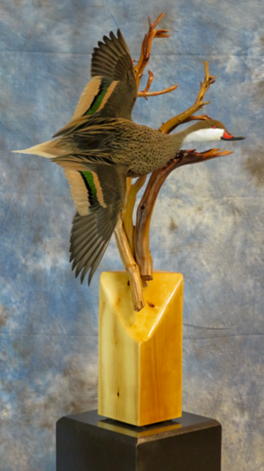 White-cheeked pintail bird taxidermy on a branch