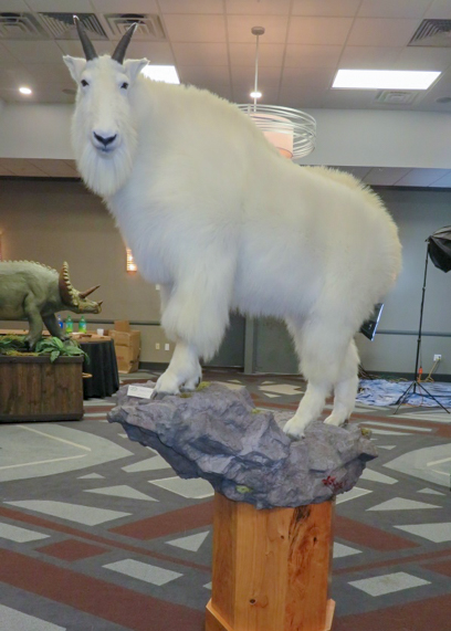 Mountain goat taxidermy