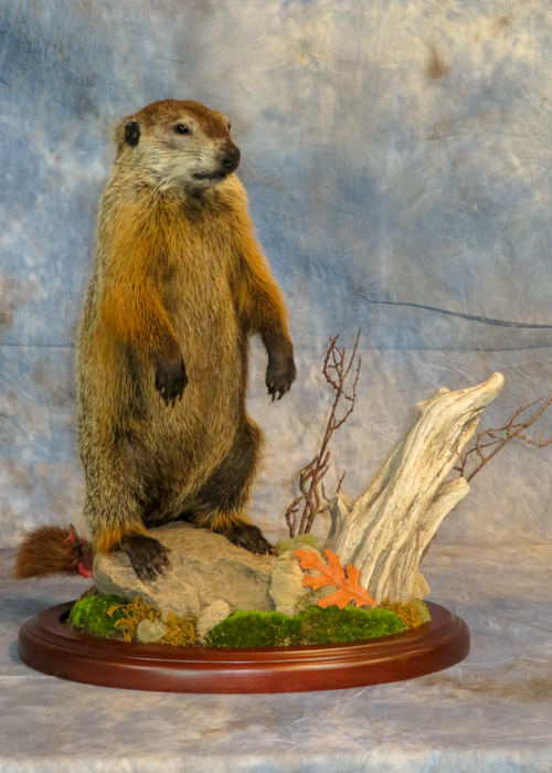 Groundhog taxidermy