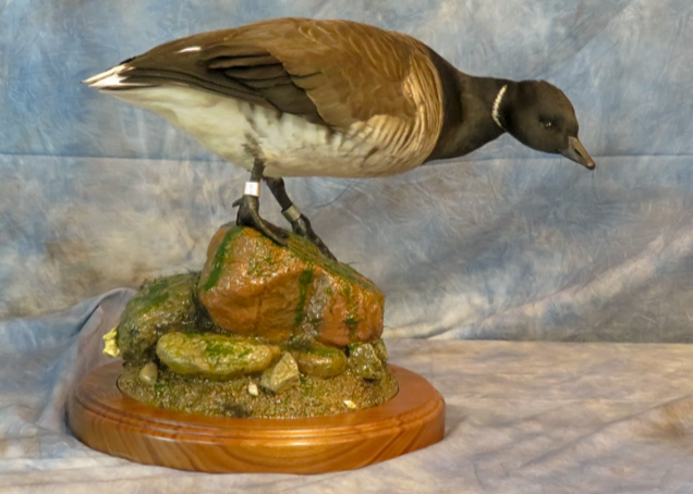 Brant duck taxidermy