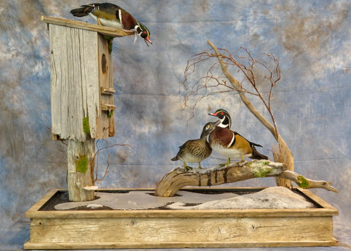 Three taxidermy ducks in a habitat with nesting area