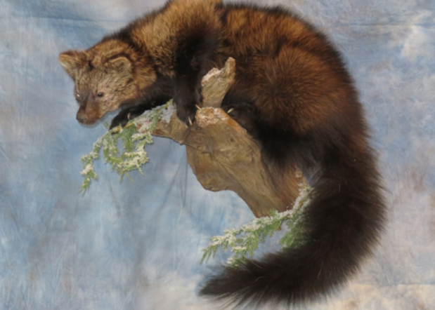 Fisher taxidermy sitting on a branch