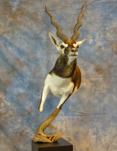 Black buck taxidermy