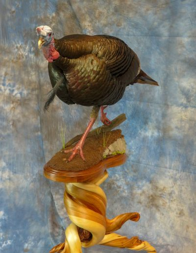 Turkey taxidermy