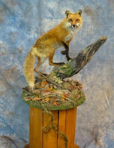 Fox with habitat taxidermy